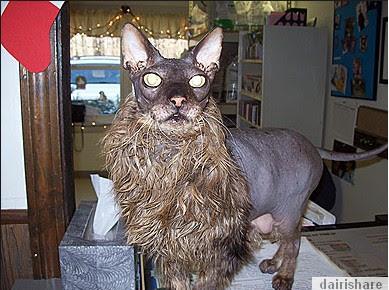 2013 07 22 213949 Kucing Paling Hodoh Dan Menakutkan