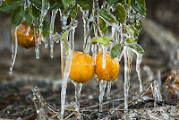 orange juice futures plummet 9.5% as the ice cold kicks in