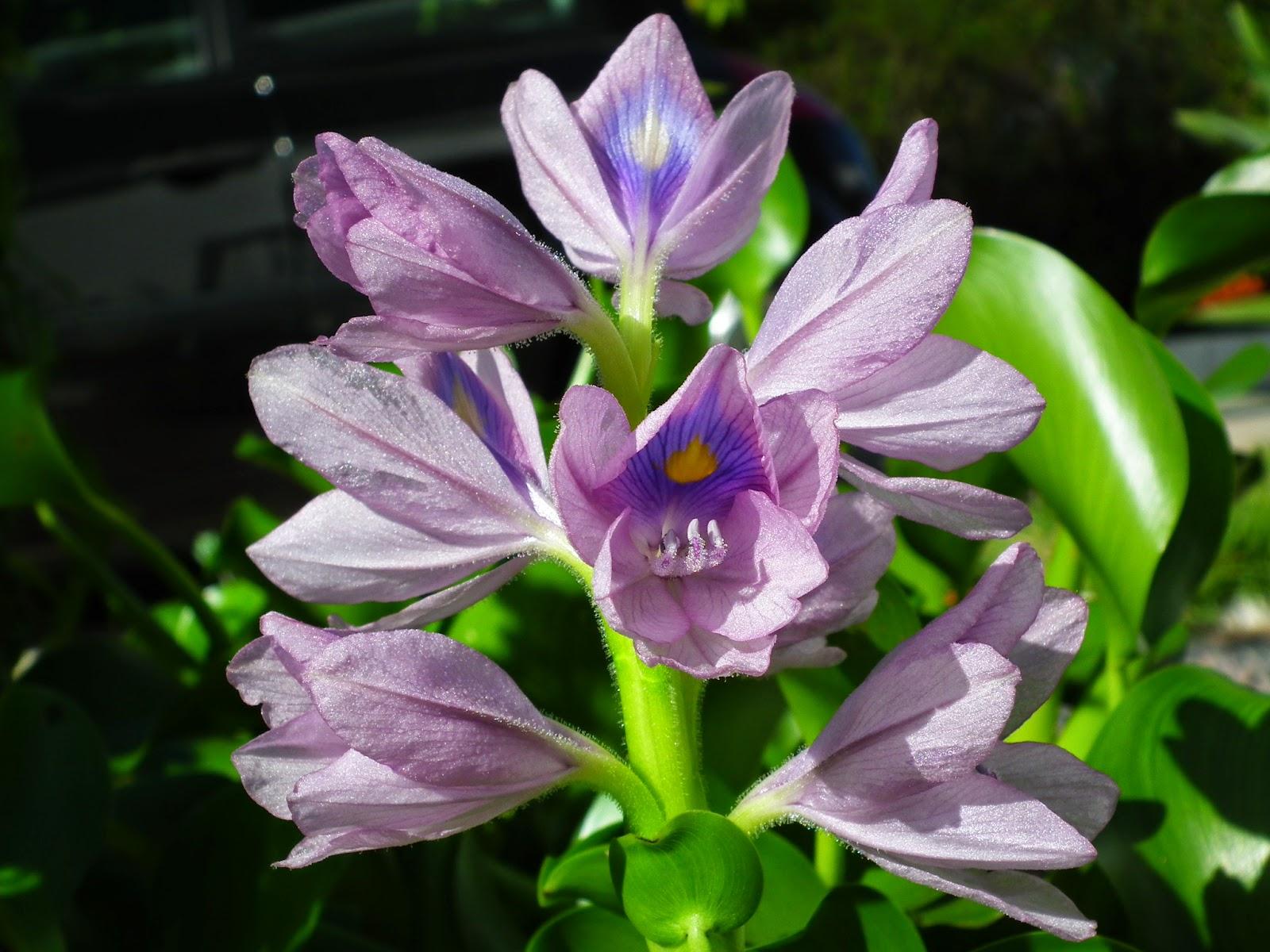 Bucólico Anónimo  Invasora aquática em flor Jacintodeágua