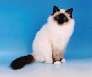 birman cat breeders info pets kittens animal domestic
