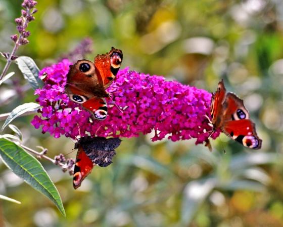 BUDDLEIA : L'ARBRE AUX PAPILLONS Med-arbre-a-papillon-et-papillons-visoflora-2737