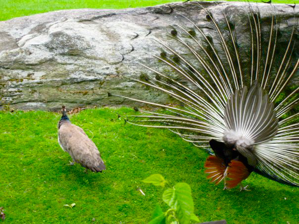 Peahen And Peacock Mating Peahen And Peac...