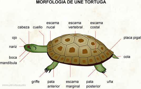 LA TORTUGA MARINA – MARINE TURTLE | Los Animales Acuáticos- The ...