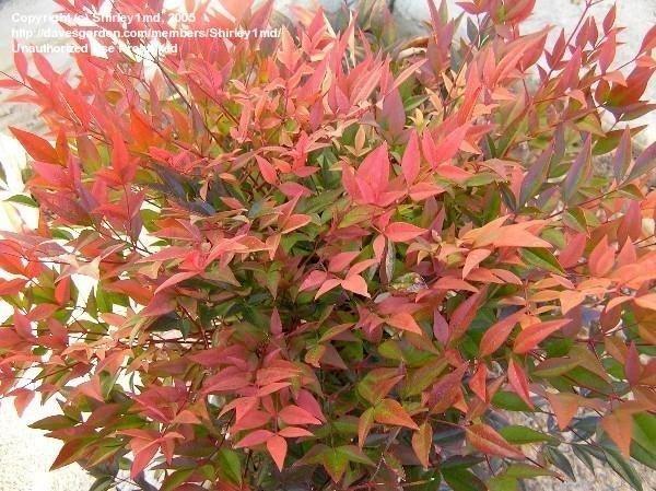 P r landscaping inc landscape plants a k click on for Plante nandina