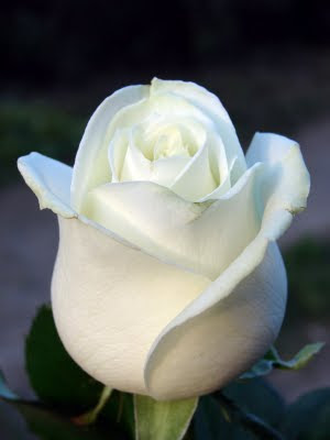personalized messages on roses meaning of white rose On what does white rose mean