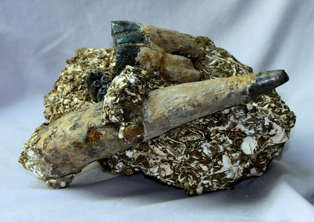 fossils tusk mammoth
