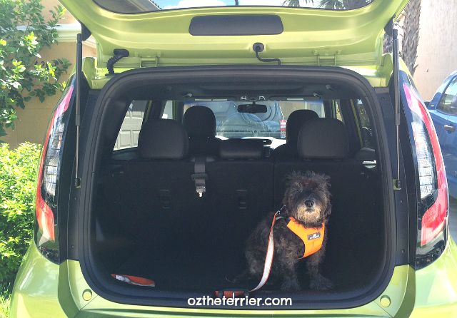 Oz the Terrier in hatchback of Kia Soul