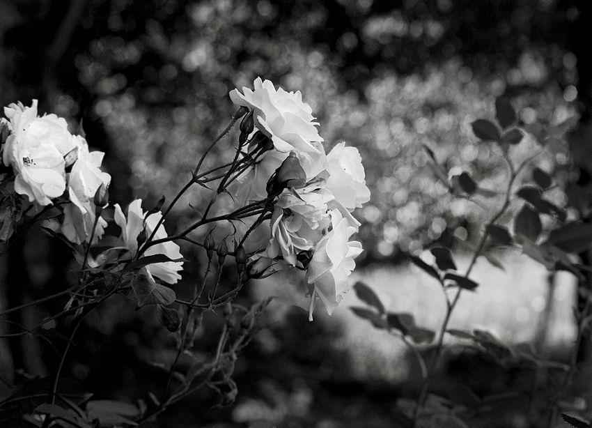 Conjunto de rosas brancas contra um fundo desfocado pelo efeito óptico da lente a grande abertura do diafragma