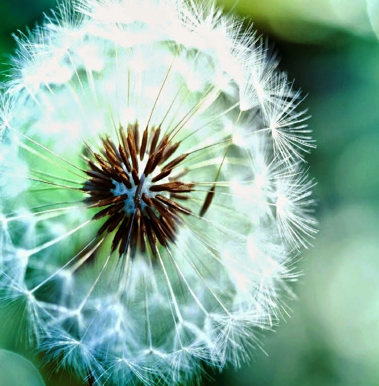 P2- Best wallpapers of the dandelion flowers for desktop and mobile