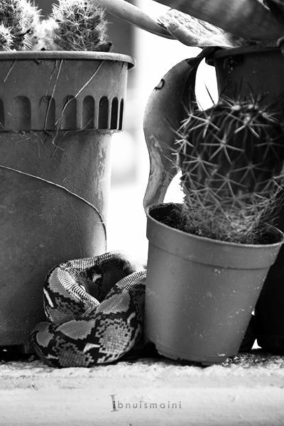 ular, ular sawa, anak ular, ular sawa batik, python