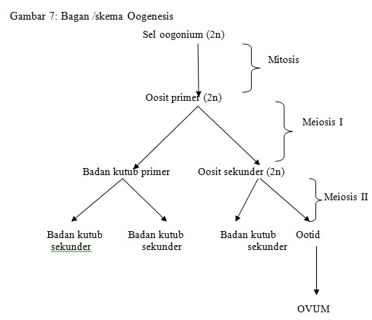 Gametogenesis menstruasi ovulasi e learning oogenesis dimulai dengan pembentukan bakal sel sel telur yang disebut oogonia tunggal oogonium pembentukan sel telur pada manusia dimulai sejak di dalam ccuart Choice Image