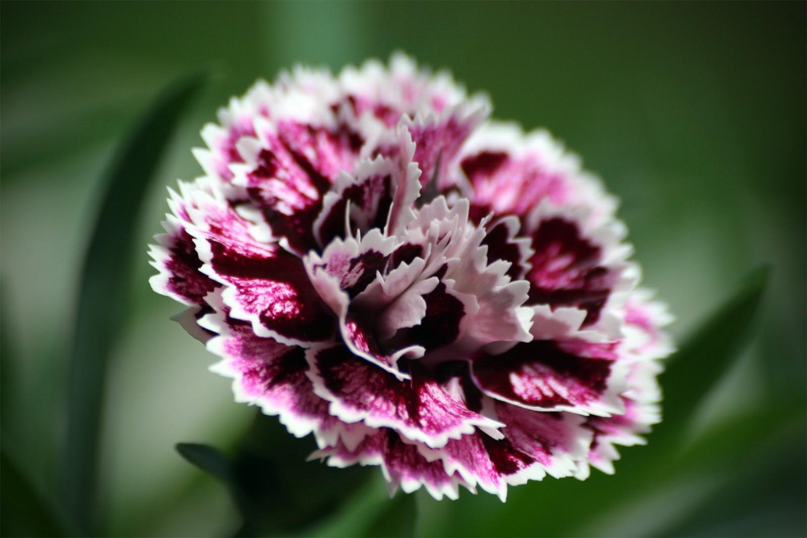 Fiorista mariangela garofani dianthus for Gerani tirolesi