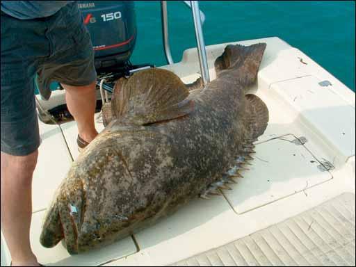 Croxfiber sportfishos lounge top 8 sportfisho decathlon for Goliath grouper fish