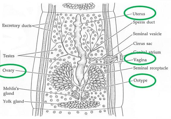 Platyhelminthes Class Cestoda