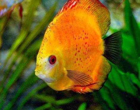 Animals unique discus unique for Discus fish types