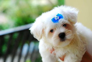 Very Cute Maltese Puppy Pictures