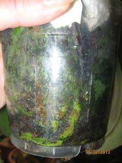 Водоросли в горшке у фаленопсиса