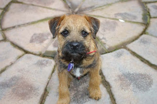 Border Terrier Puppy Pictures