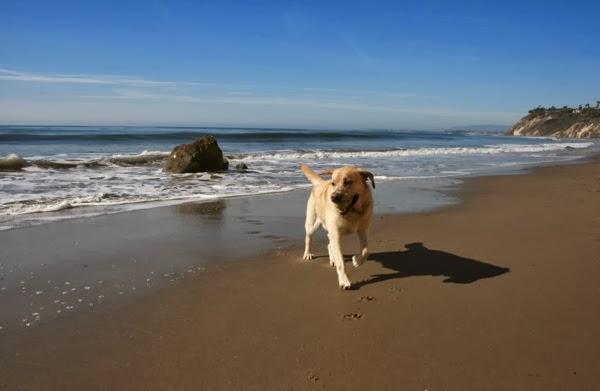 Labrador Cooper Hendrys Beach