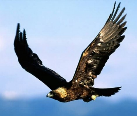 PediaPie: Golden Eagle The national bird of Mexico Extremely Swift