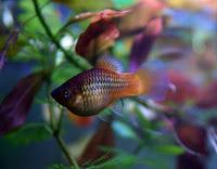 Platka - ryby akwariowe - 5