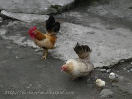 Tips cara pemeliharaan anak ayam kate