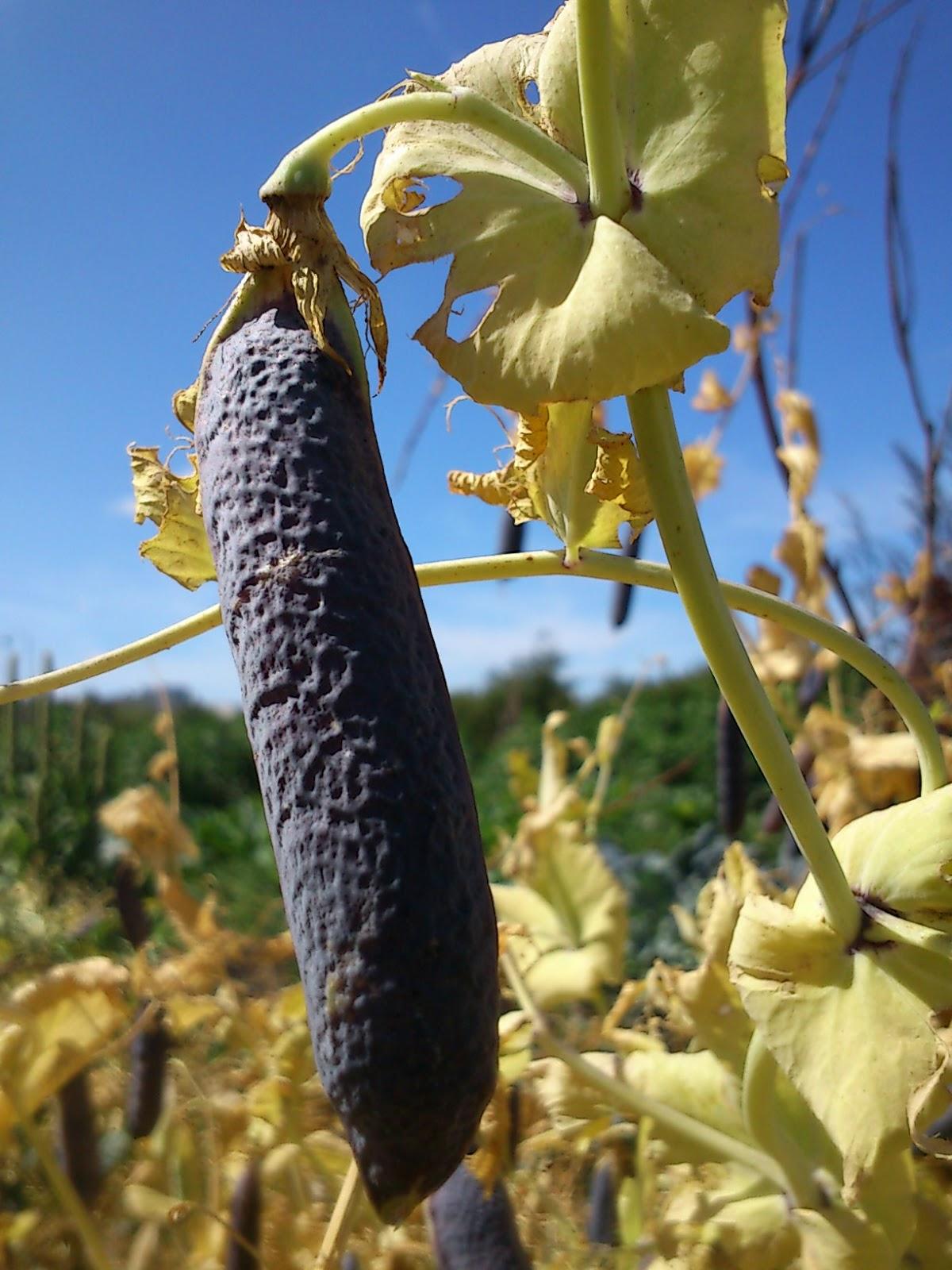 chiafrön odla själv