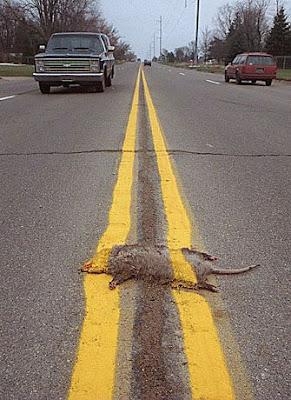 Un opossum écrasé sur une route américaine, avec double ligne jaune sur la tronche