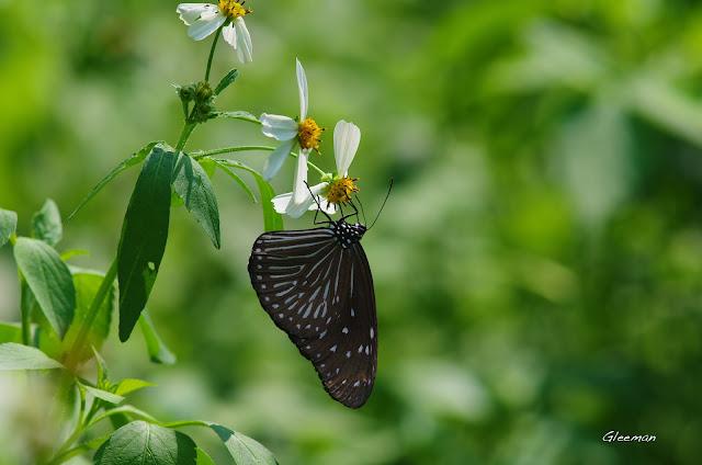 雞南山的端紫斑蝶