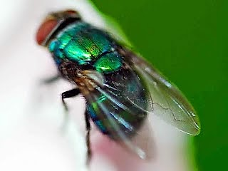 Mengusir Lalat