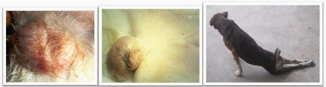 Hình 3: Phì đại dịch hoàn, liệt chi sau