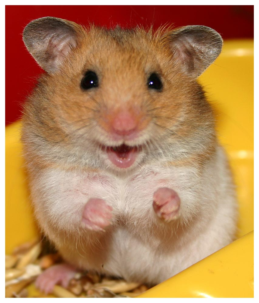 cute hamster wallpaper