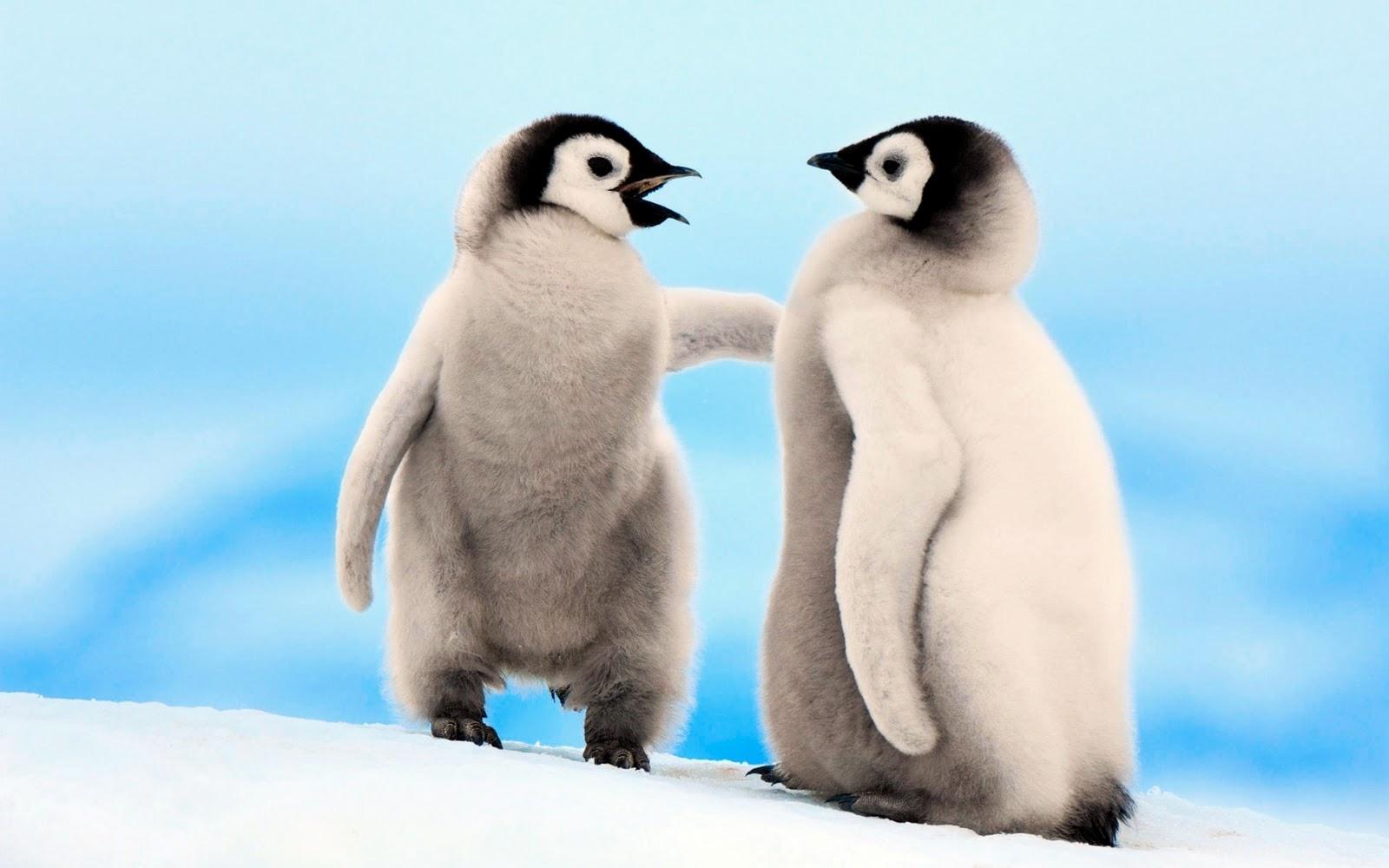 Emperor Penguin | Info and Photos | The Wildlife