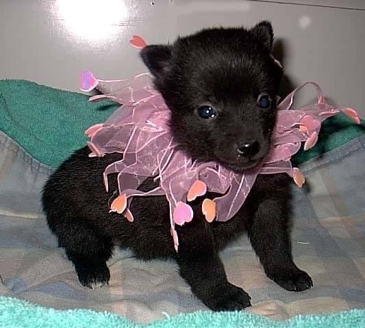 Schipperke Puppies Pictures Puppies Pictures Online M5xeu
