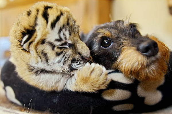 Funny animals of the week - 14 February 2014 (40 pics), baby tiger and dog