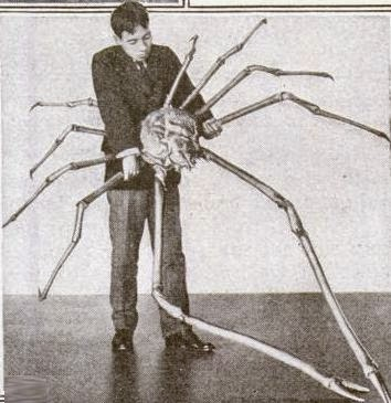 Man holding a large male Japanese spider crab
