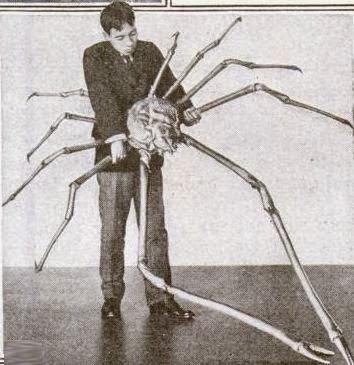 Spider Crab Size Tasmanian Giant...