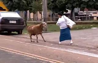 Cabra más loca que una cabra ataca en Brasil Video