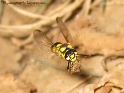 Ground Digger Wasp