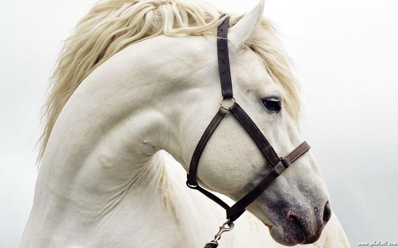 wallpaperspiolt: white horse wallpapers