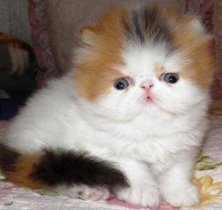 Gambar Kucing Persia Lucu 100010