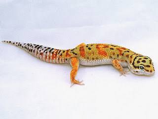 jenis morph pada leopard gecko tangerine hewan indonesia