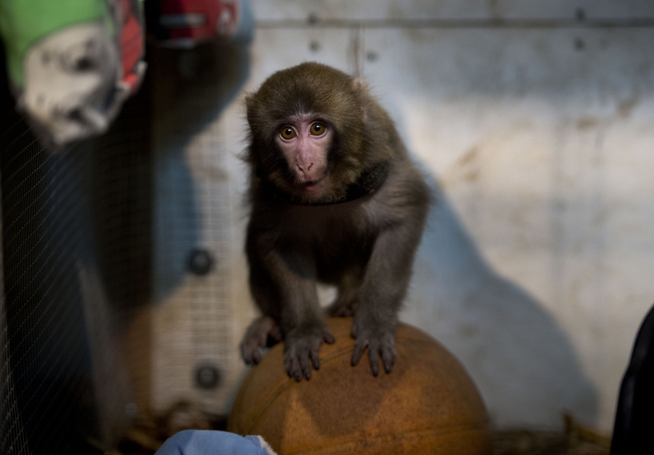 the glass character darwin the ikea monkey best cash