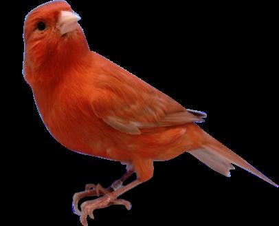 Foto Burung Kenari Red Terbaik