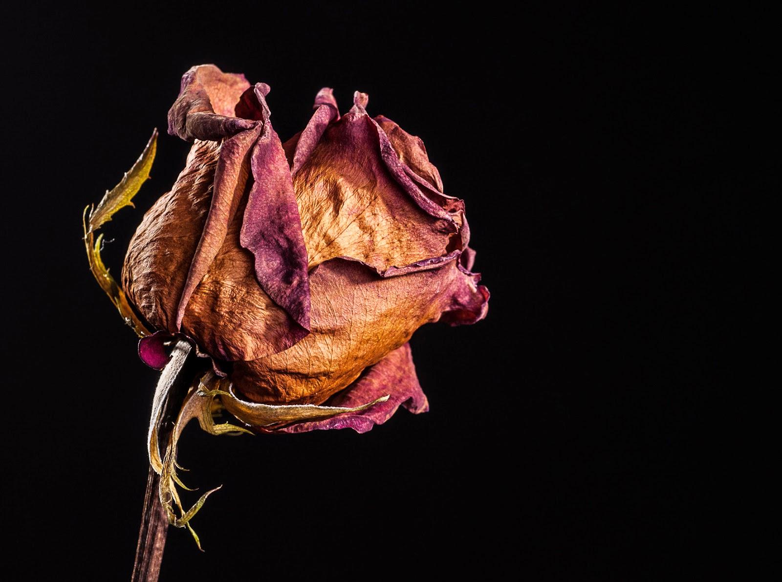 Imagenes de flores marchitas Imagenes tristes para  - Imagenes De Rosas Marchitas