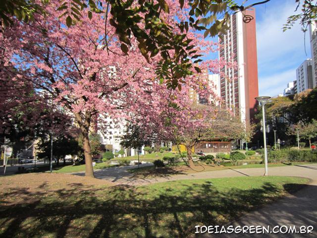 Linda cerejeira em praça de Curitiba