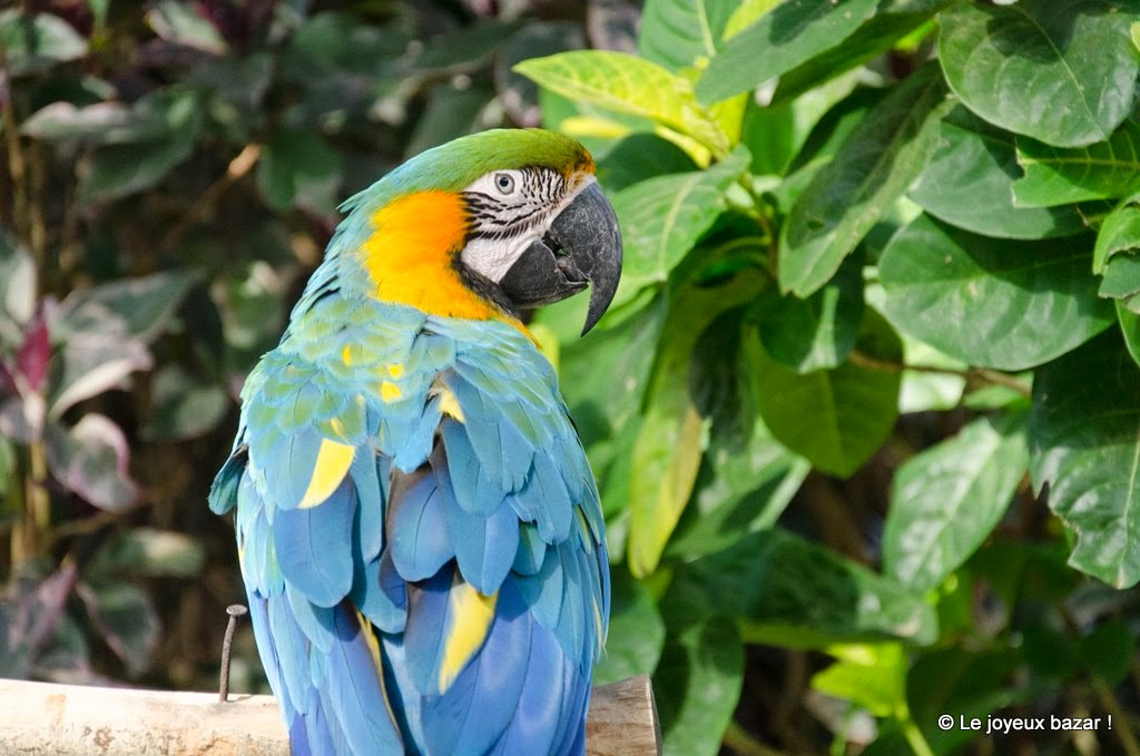 Guadeloupe  - Deshaies - jardin botanique - perroquet