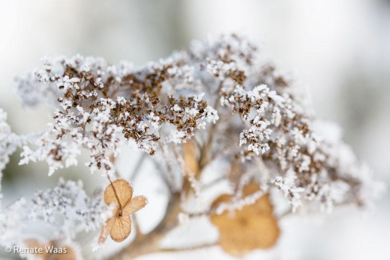 Winterzauber im Garten - Hortensien mit Raureif