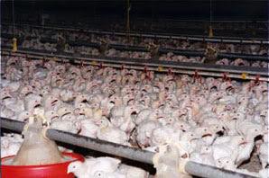 Ide Usaha Kemitraan Ternak Ayam Yang Menjanjikan