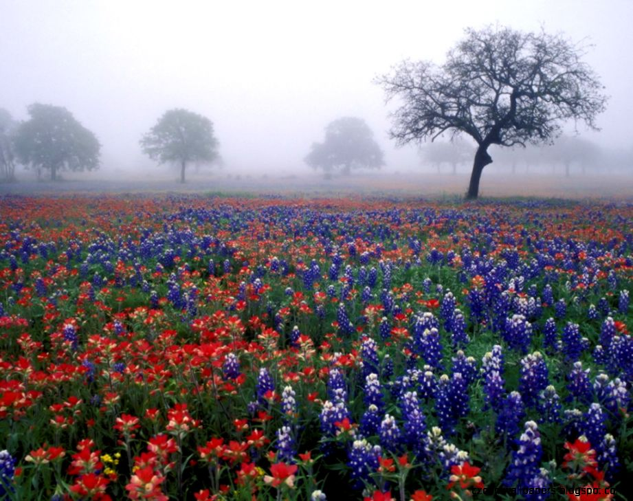 field of poppy flowers carlsbad photos free   Blue wallpaper